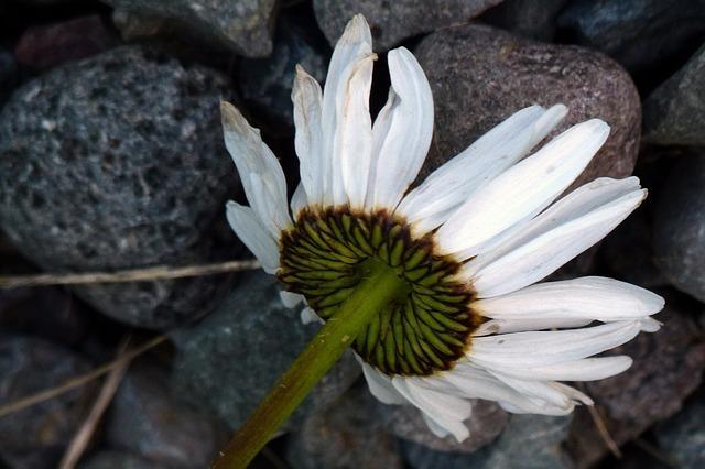 daisy-53297_640.jpg