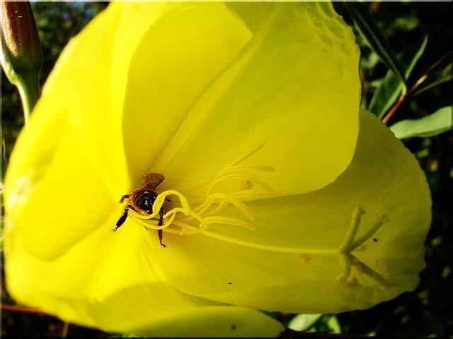 honey-bee-52825_640.jpg